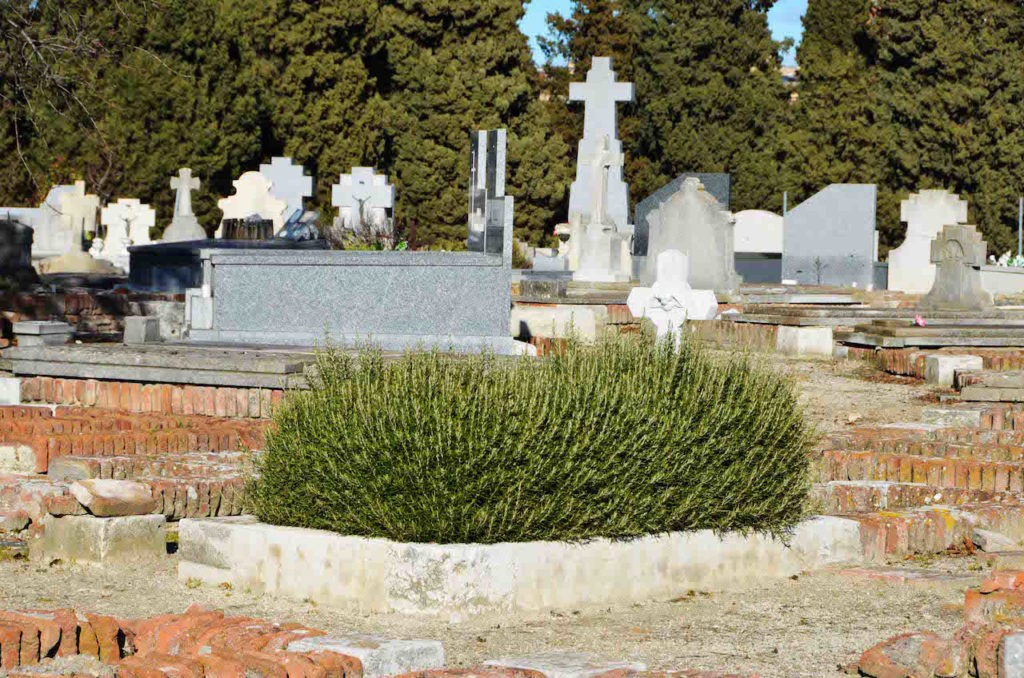A rosemary bush adorns a grave plot