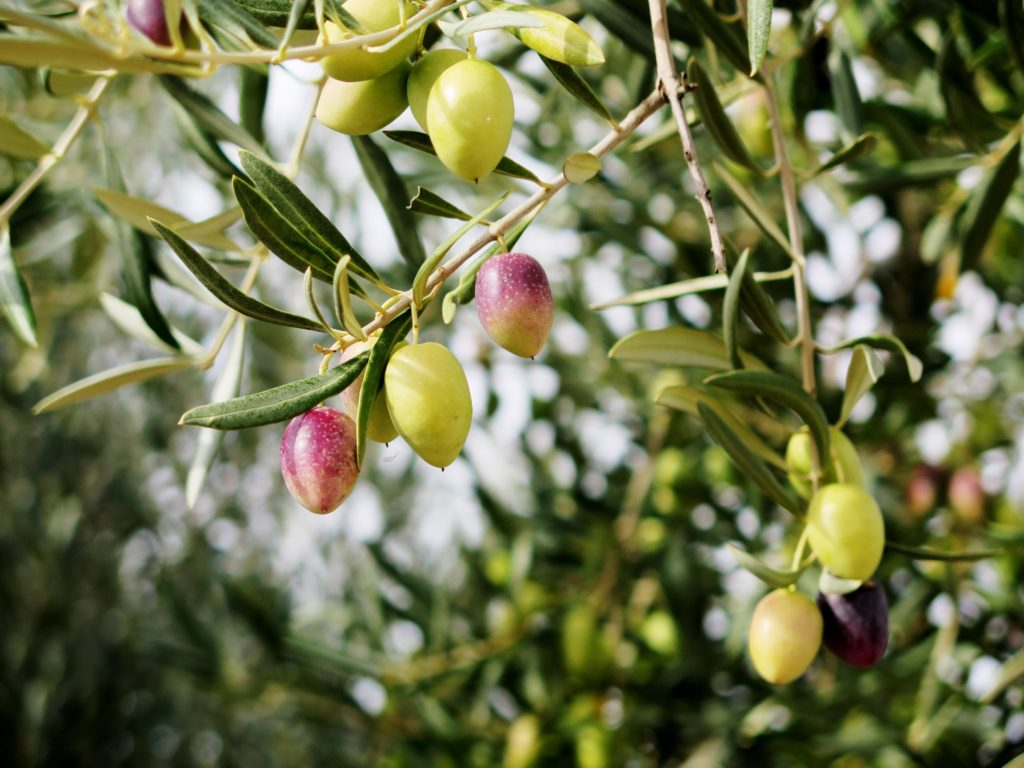 Olives ready to harvest
