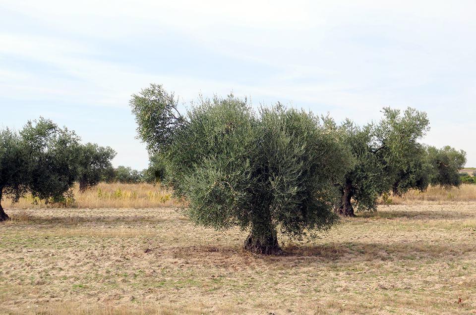 Proyecto los Aires olive grove