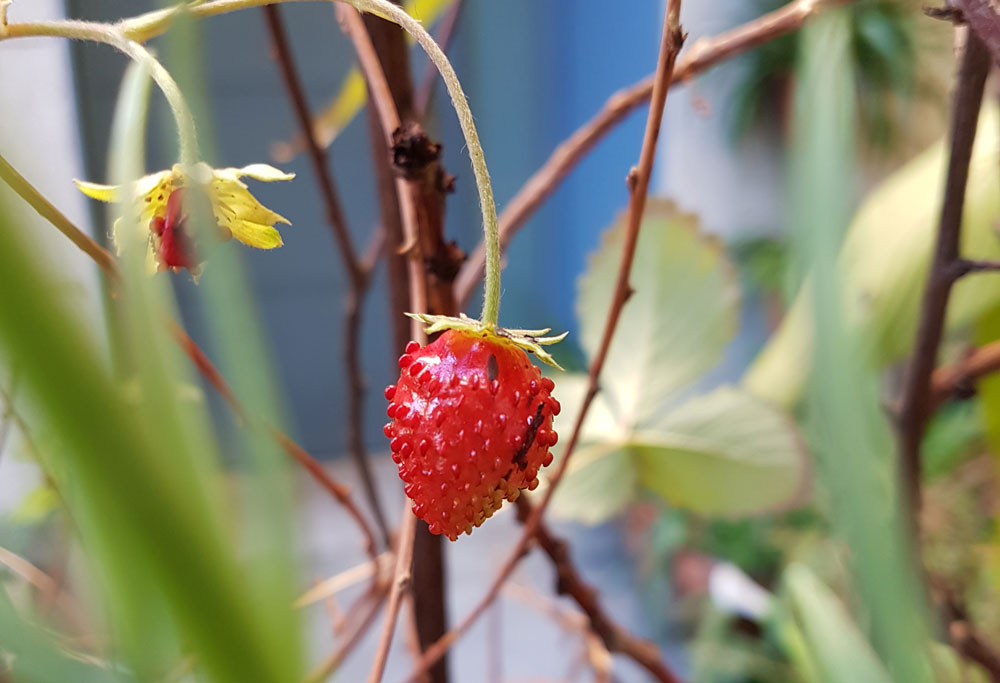 A tiny strawberry growing in the garden