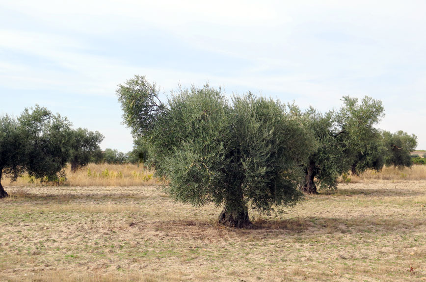 The Olive Tree (A5 €8)